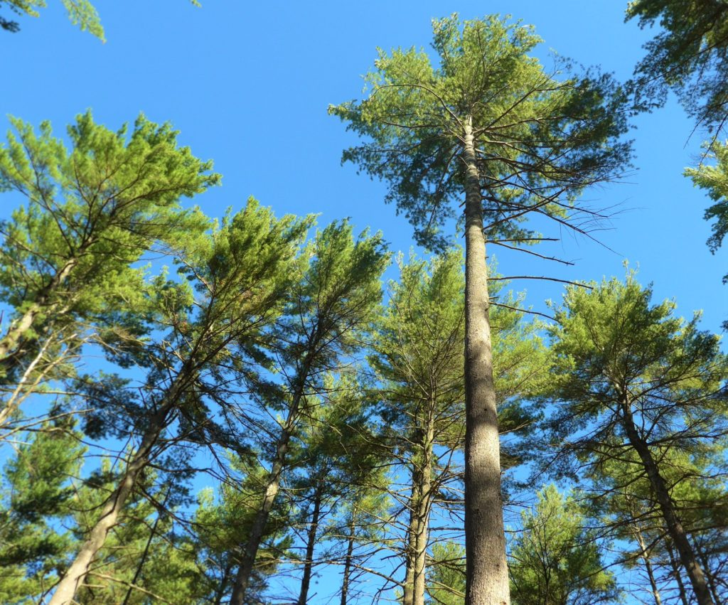 Low-Density White Pine Management workshop @ Bear Brook State Park