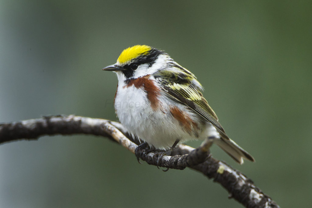 Chestnut Sided Warbler-Francesco Veronesi CC BY-SA 2.0
