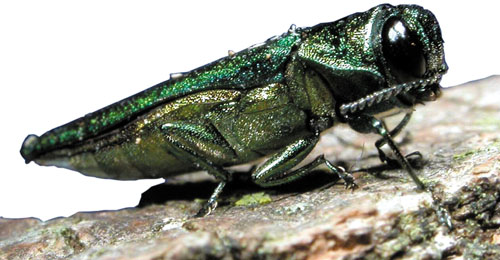 Emerald Ash Borer Identification & Detection workshop @ Bachelor Brook Resource Area