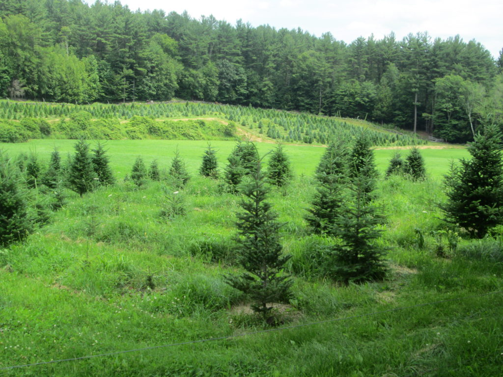 Insect Management in Christmas Tree Production webinar @ online