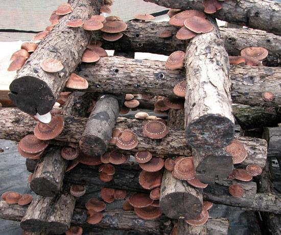 Logistics, Economics & Marketing for Harvesting & Selling Small Diameter Wood for Mushroom Production webinar @ online