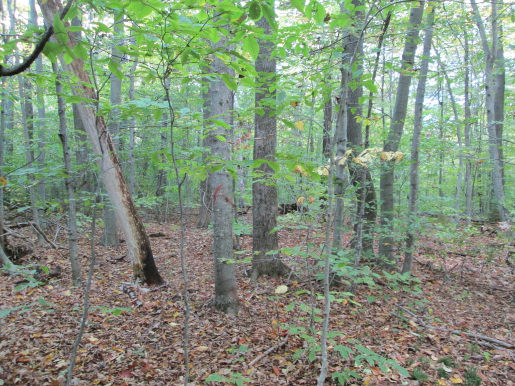 Beech Bark Disease and Understory Interference in Today's Northern Hardwoods webinars @ online