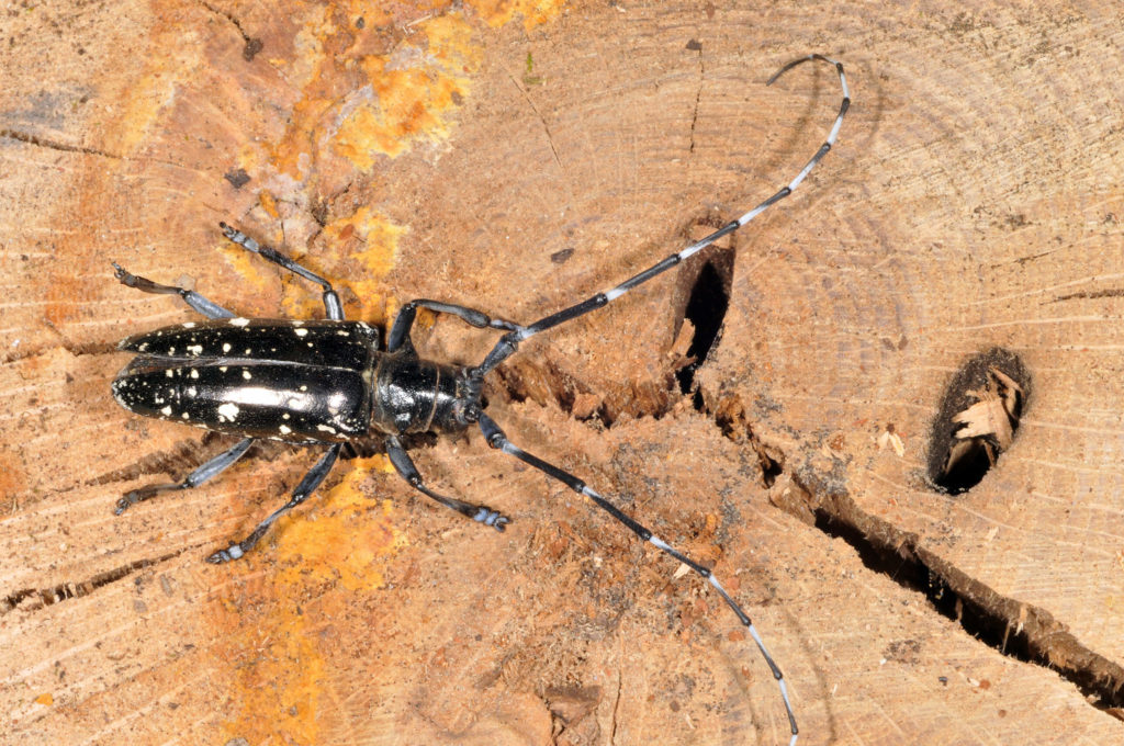 Identifying Asian Long Horned beetles and Emerald Ash borers webcast @ online