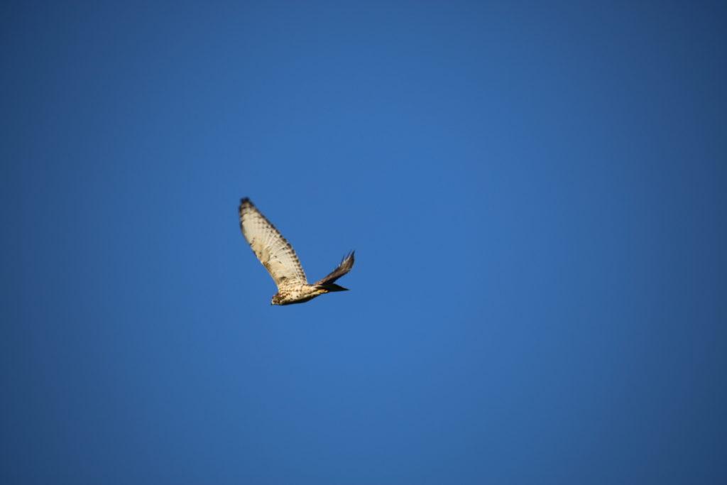 Hawk Talk: Hoo's in your Backyard? webinars @ online