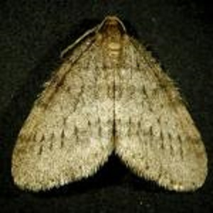 Successful Biological Control of Winter Moth in Eastern New England webinar @ online
