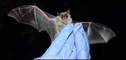 Bats in Massachusetts @ Millers River Environmental Center