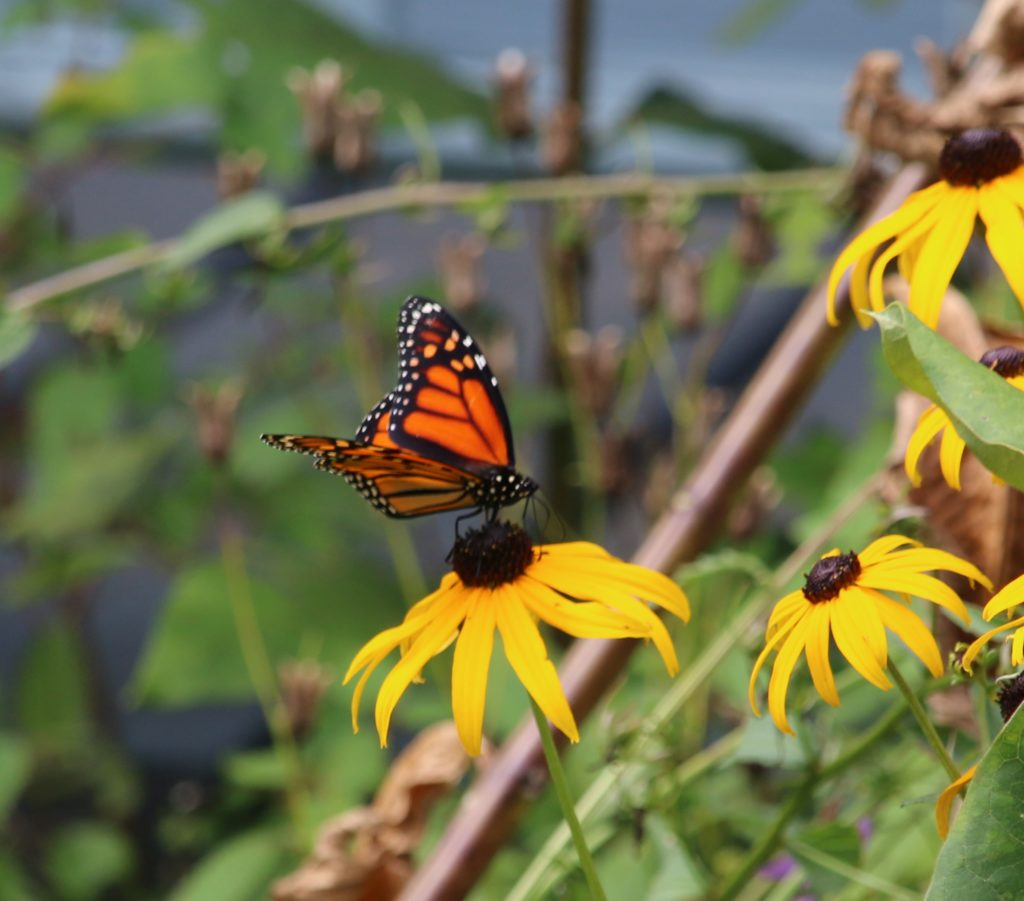 Habitat Needs & Management for Monarch Butterflies webinars @ online