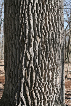 Bark: Get to Know Your Trees webinar @ online