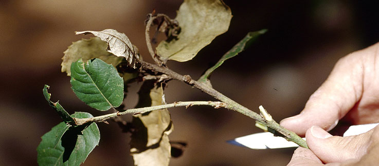 Sudden Oak Death webcast @ online