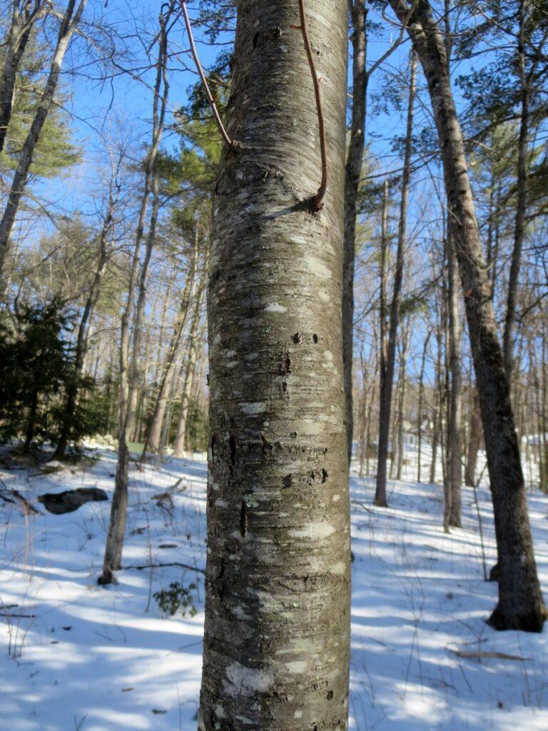 Winter Tree ID Part 2 webinar @ online