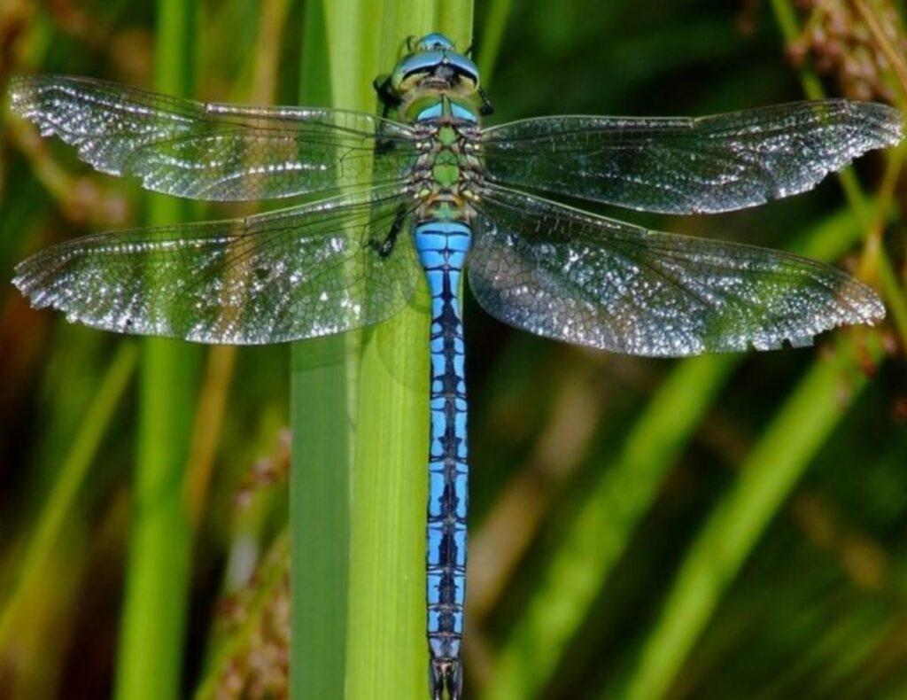 Introduction to Observing & Identifying Dragonflies & Damselflies virtual program @ online