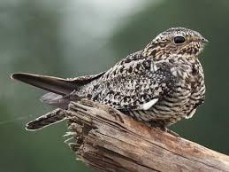 Bird-Friendly Forestry Practices and Strategies for Landowners webinar @ online